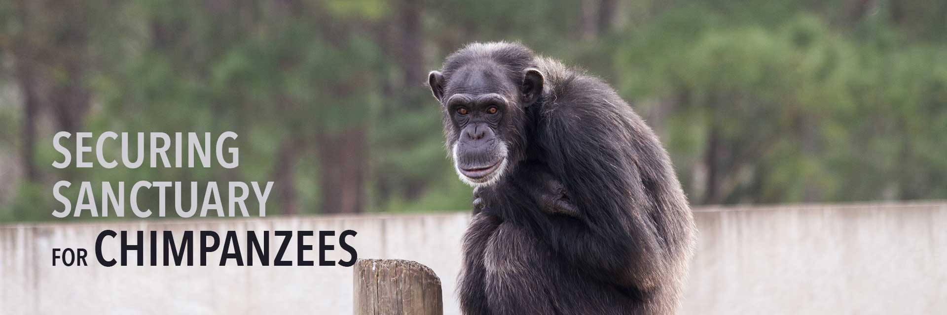 Securing Sanctuary for Chimpanzees