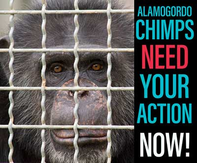 Chimps Need Your Action NOW
